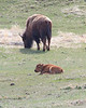 July 7th, 2013 - Mama and baby buffalo<br /> <br /> Still working on Yellowstone shots.<br /> Happy Sunday!