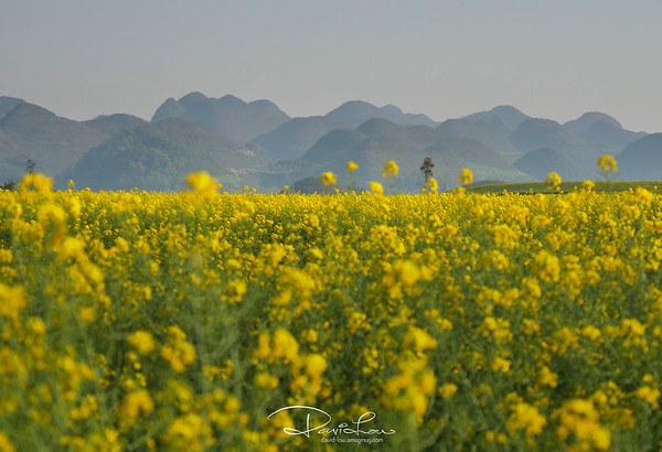 Canola flowers, Luoping