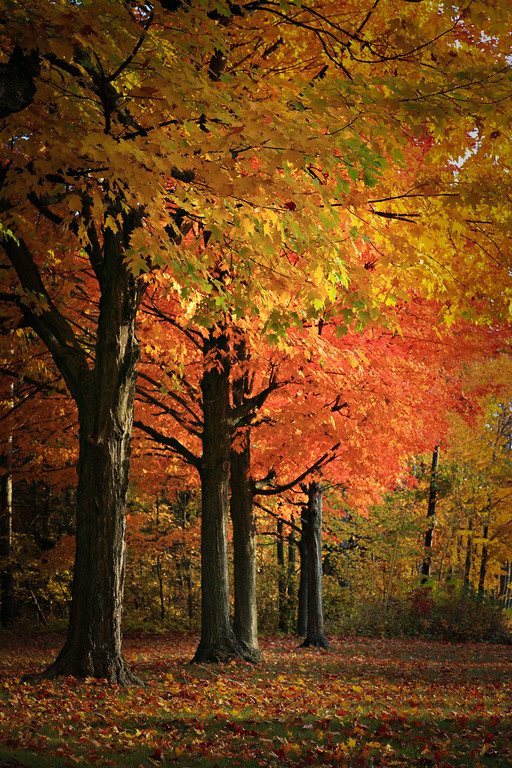 Colorful Autumn Scene with Row of Maple Trees under Morning Sunlight