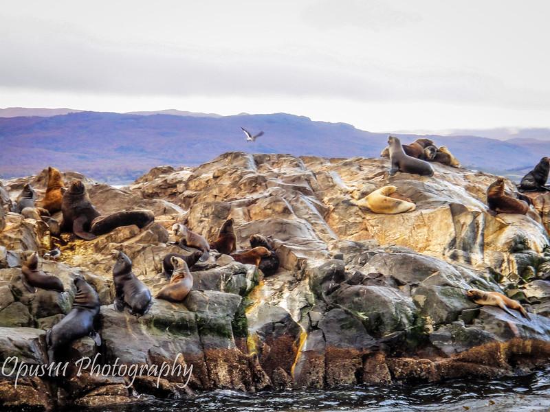 Sea Lions, Beagle Channel