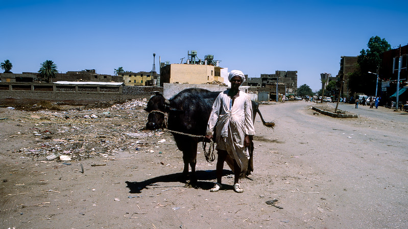 Egyptian taking a walk with his cow