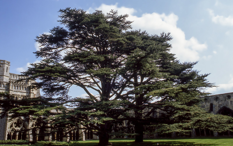 Massive trees by the cathedral