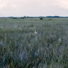 White egret in field