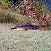 Alligator on land