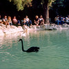 National Gardens of Athens - Black swan