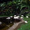 White flamingos