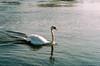 A 'Mute' swan