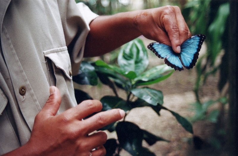 Blue morpho butterfly, Belize