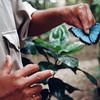 Blue morpho butterfly, Belize