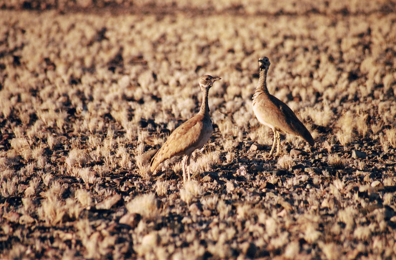 Camouflaged birds, Namibia