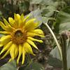 Sunflower, Sardinia, Italy
