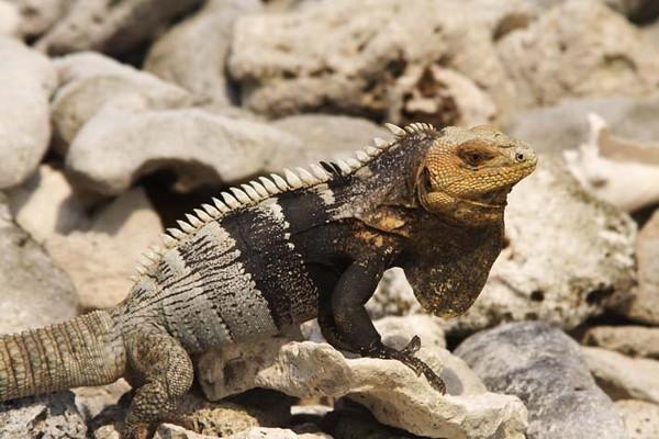 Iguana, Cayos Cochinos, Honduras