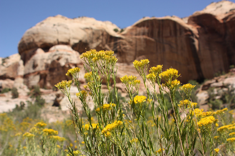 Wildflowers, Grand Staircase Escalante, USA