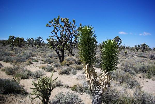Joshua tree (Yucca brevifolia var. jaegeriana), Cima Dome, Mojave Desert