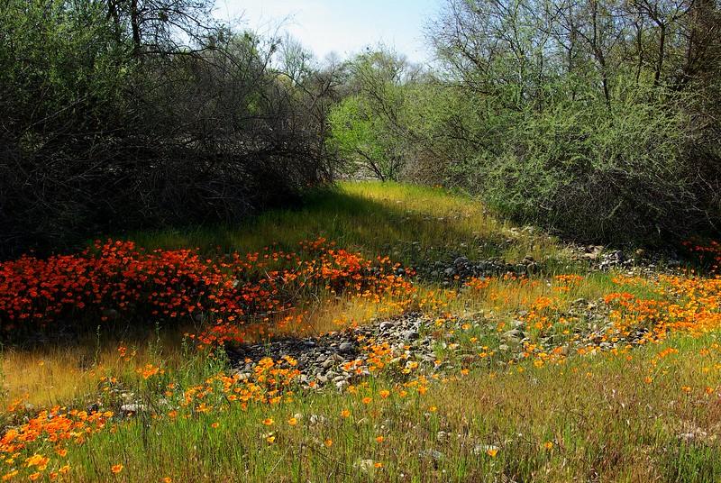 California poppies, near Merced