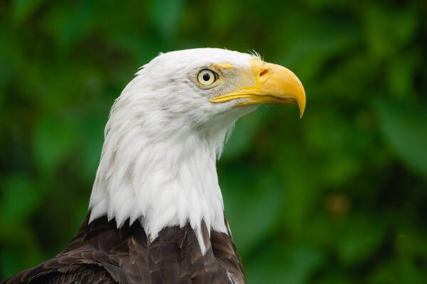 Bald Eagle | Québec