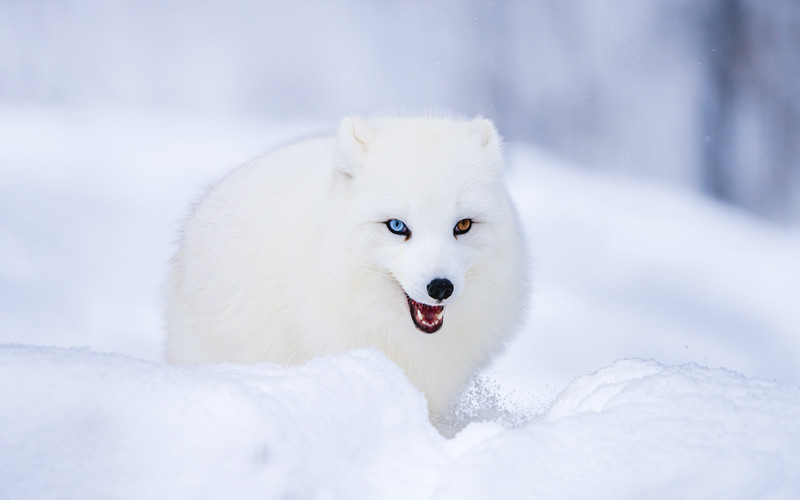 🇨🇦 an incredibly cool arctic fox