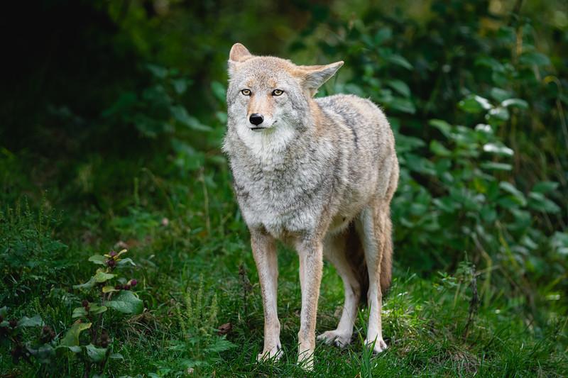 Coyote | Québec