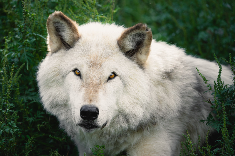 a majestic gray wolf | Québec