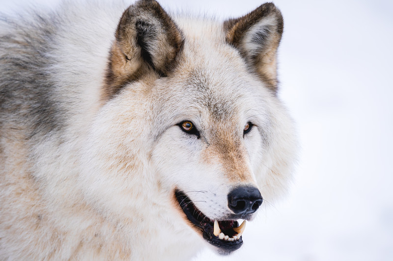🇨🇦 Portrait of a gray wolf