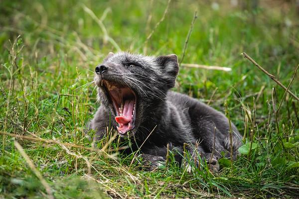 yawning arctic fox