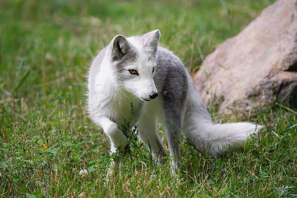 Arctic Fox | Québec