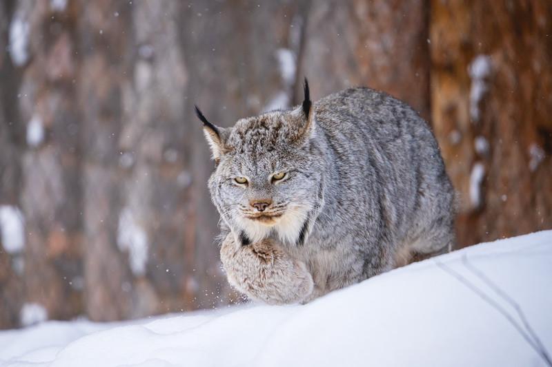 🇨🇦 Canada Lynx