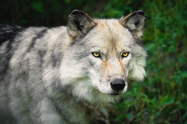 Gray Wolf | Québec