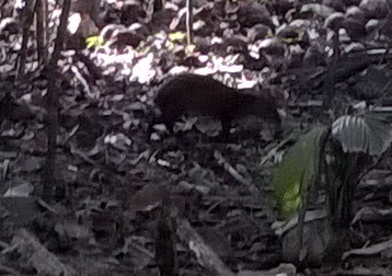 Saw some agoutl, a rodent like animal.