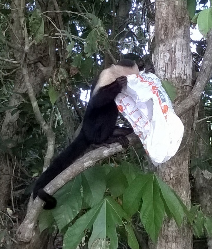 The white faced monkey found a bag. Is there food here?