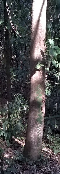 Note how the fern sticks to the trunk of the tree.