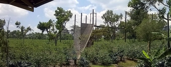 The obstacle course amongst the coffee plants.
