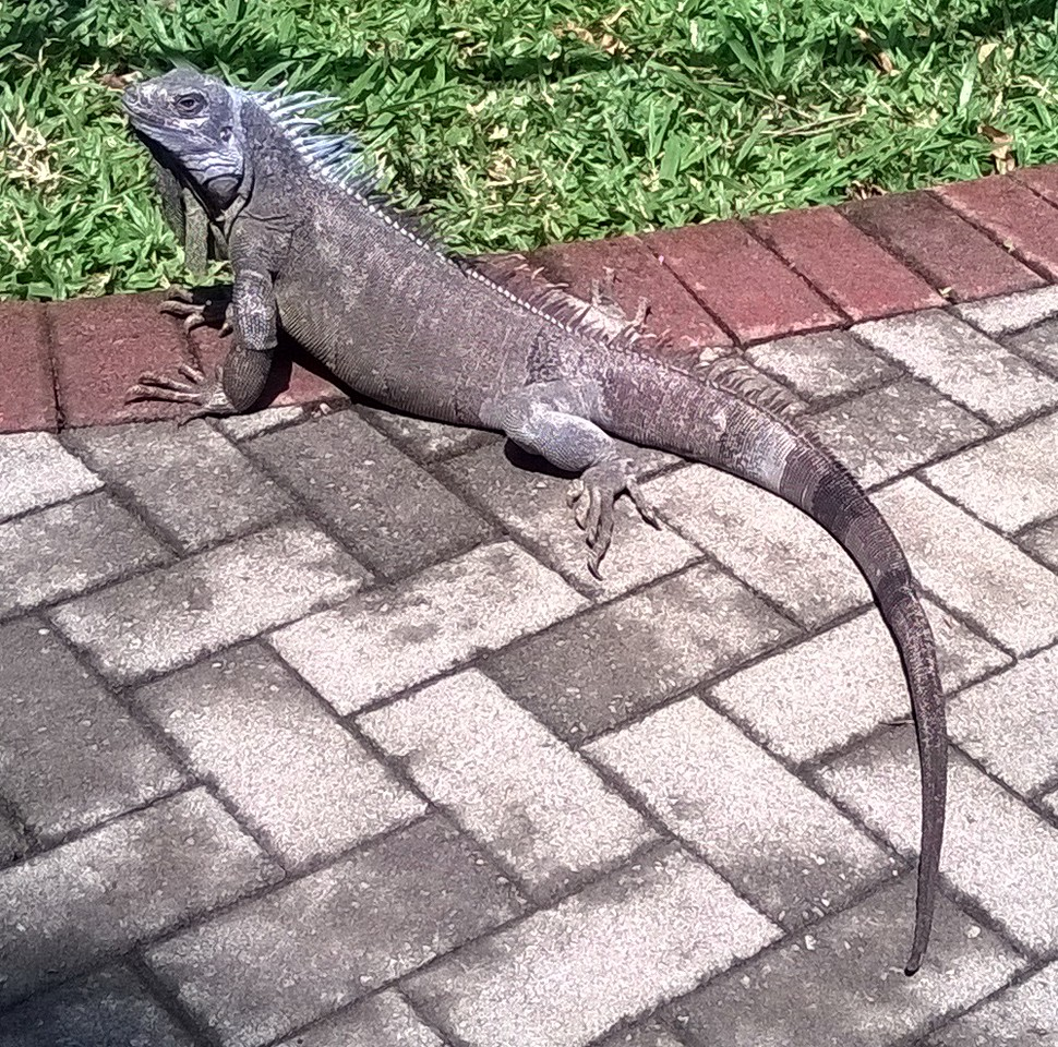 Iguana out for a walk.