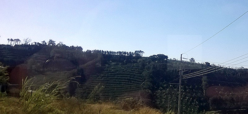 Hills are covered with coffee plants.