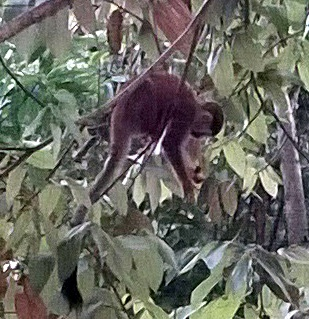 The squirrel monkeys clambered all over the trees.