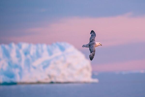 Seagull @ Disko Bay
