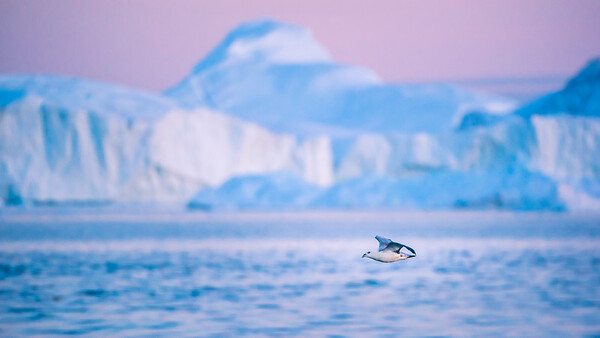 Seagull @ Ilulissat Icefjord