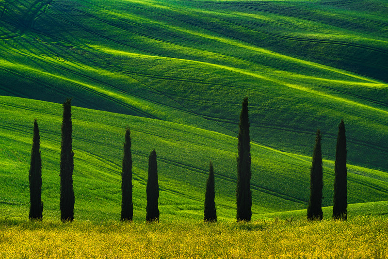 Cypress Trees of Tuscany �