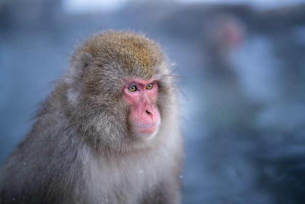 Snow Monkey | Jigokudani Monkey Park