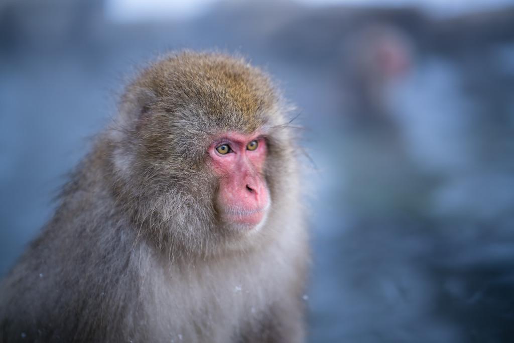 Snow Monkey   Jigokudani Monkey Park