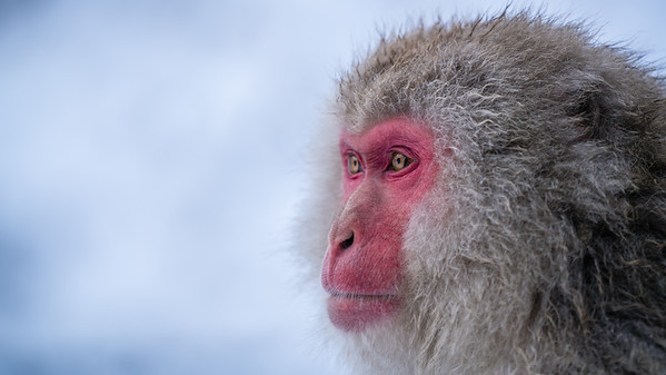 Red faced snow monkey | Jigokudani Monkey Park