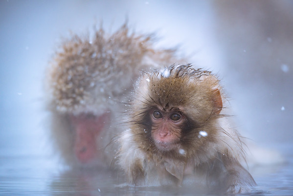 the little snow monkey   Onsen @ Jigokudani Monkey Park