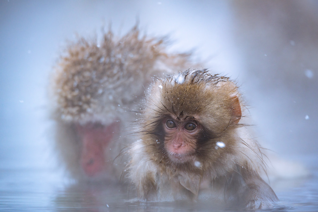 the little snow monkey | Onsen @ Jigokudani Monkey Park