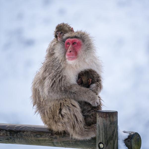 Snow Monkeys   Jigokudani Monkey Park