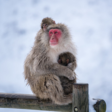 Snow Monkeys | Jigokudani Monkey Park