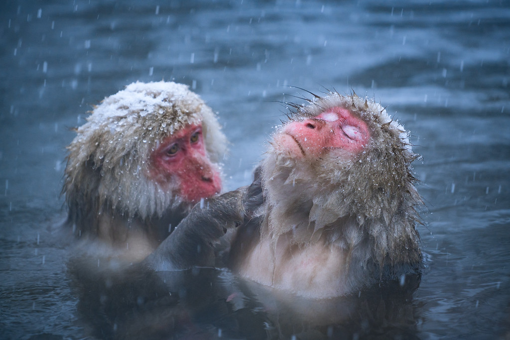 Snow Monkeys Onsen