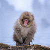 a young snow monkey