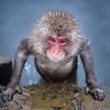 Onsen Snow Monkey