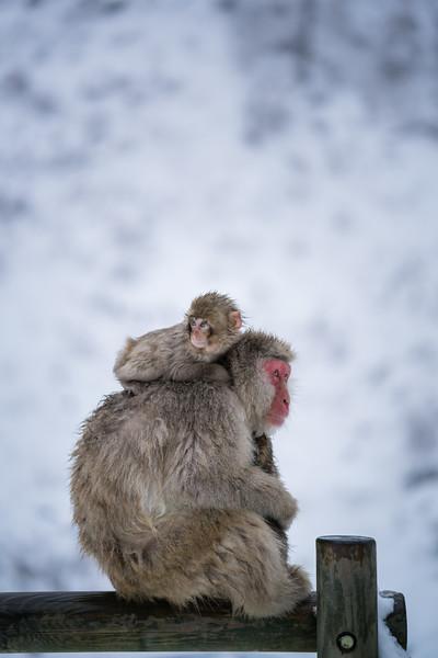 Mother and Sons   Snow Monkey @ Jigokudani Monkey Park