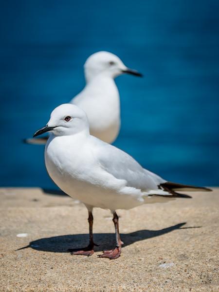 Evil looking seagulls